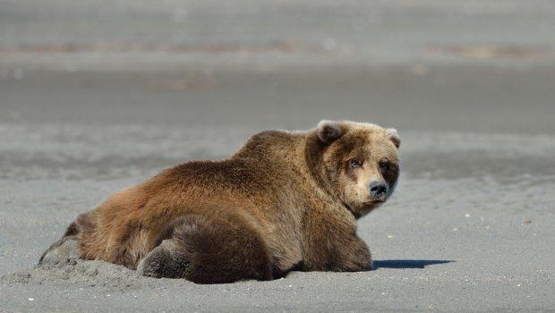 The World's Laziest Bear