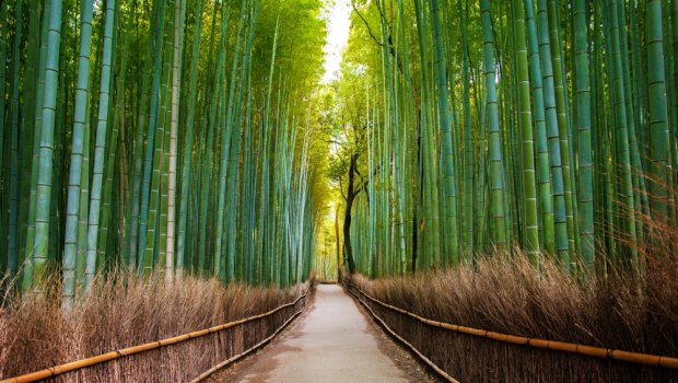 Bamboo Trail In Japan